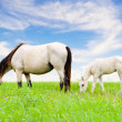 White horse mare and foal on sky background — Stock Photo