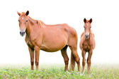 Brown mare and foal on white background — Stock Photo