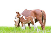 Mare and foal with brown white — Photo
