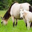 White horse mare and foal in a gras — Stock Photo