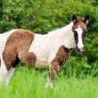 Stock Photo: Young horses looking in meadow