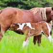 Horse foal suckling from mar — Stock Photo