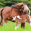 Horse foal suckling from mothe — Stock Photo