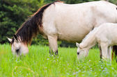 Black white Horse mare and foal in gras — Photo