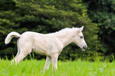 White horse foal in green grass — Stock Photo