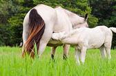 White horse źrebię prosię z mare — Zdjęcie stockowe