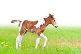 Horse foal walking in green gras — Photo