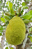 Jackfruit on the tree — Stock Photo