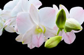 Bouquet orchid flower isolated on blac — Stock Photo