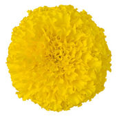 Yellow Marigold flower isolated on whit — Stock Photo