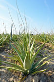 Aloe vera plantatio — Stock Photo