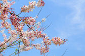 Pink flowering tree similar sakura — Stock Photo