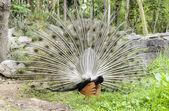Male peacock displa — Stock Photo