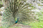 Male peacock display — Stock Photo