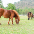 Dwarf horses eating grass — Stock Photo