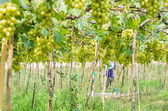 Green vineyards — Stock fotografie