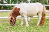 Dwarf horses eating grass — Stock Photo