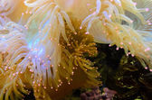 Anemones, organism of the sea — Stock Photo