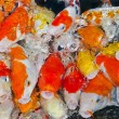 Colorful many Koi Carps fish — Stock Photo #37649543