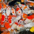 Colorful many Koi Carps fish — Stock Photo #37649793