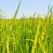 Landscape green rice fields — Stock Photo