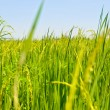 Stock Photo: Landscape green rice fields