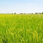 Landscape green rice fields — Stock Photo