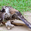 Stock Photo: Changeable Hawk Eagle (Nisaetus limnaeetus)