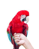 Green-Winged Macaw isolated on white — Stock Photo