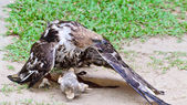 Changeable Hawk Eagle (Nisaetus limnaeetus) — Stock Photo