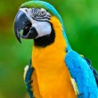 Blue and Gold Macaw colorful birds — Stock Photo #37800155
