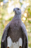 Lesser Fish Eagle ( Ichthyophaga humili ) — Stock Photo