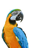 Blue and Gold Macaw colorful birds isolated on white — Stock Photo