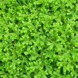 Stock Photo: Selaginellkraussiangreen small plant