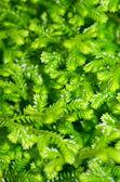 Selaginella kraussiana green small plant — Stock Photo