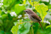 Grey Bushchat bird (female) — Stock Photo