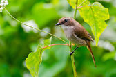 Grey Bushchat bird (female) — Foto de Stock