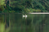 White swan and its mate are swimming in the lake — Stock Photo