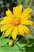 Mexican Sunflower Weed, Flowers are bright yellow — Stock Photo