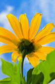 Close up Mexican Sunflower Weed, Flowers are bright yellow — Stock Photo