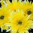 Close up yellow Chrysanthemum flowers — Stock Photo