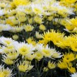 Stock Photo: Chrysanthemum Morifolium flowers garden