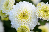 Close up white Chrysanthemum Morifolium flower — Stock Photo