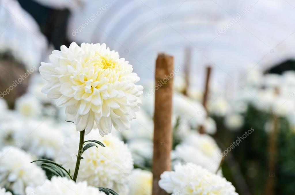 К чему снятся белые хризантемы цветы