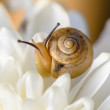 Snail on white flower — Stock Photo
