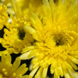 Close up yellow Chrysanthemum Morifolium flowers — Stock Photo