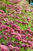 Fermes de fleurs magenta chrysanthemum morifolium — Photo