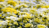 Chrysanthemum Morifolium flowers garden — Stock Photo