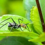 Ant-mimic Cricket — Stock Photo