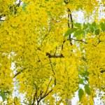 Постер, плакат: Yellow flowers on tree of Purging Cassia or Ratchaphruek